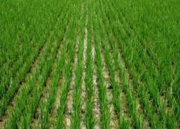 Nigerian Rice Farmers Celebrates Huge Output Of Rice In 2017