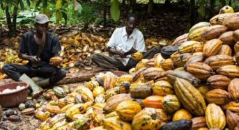 Early Rainfall To Boost Nigeria Cocoa Mid-Crop