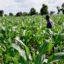 Ogun State Seeks Partnership With FUNAAB On Cassava Planting