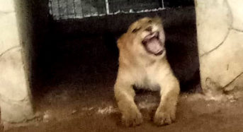 Lagos Task Force Evacuates Lion From Private Residence