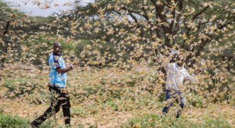 Locust Swarms: World Bank To Support Africa And M/East With $500M