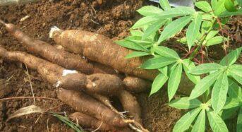 Nigeria Promotes Cassava Varieties Cultivation